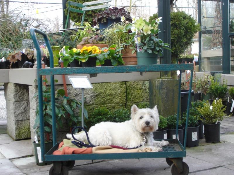 Westie gets a ride (3)