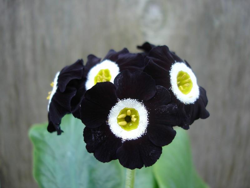 Black auricula