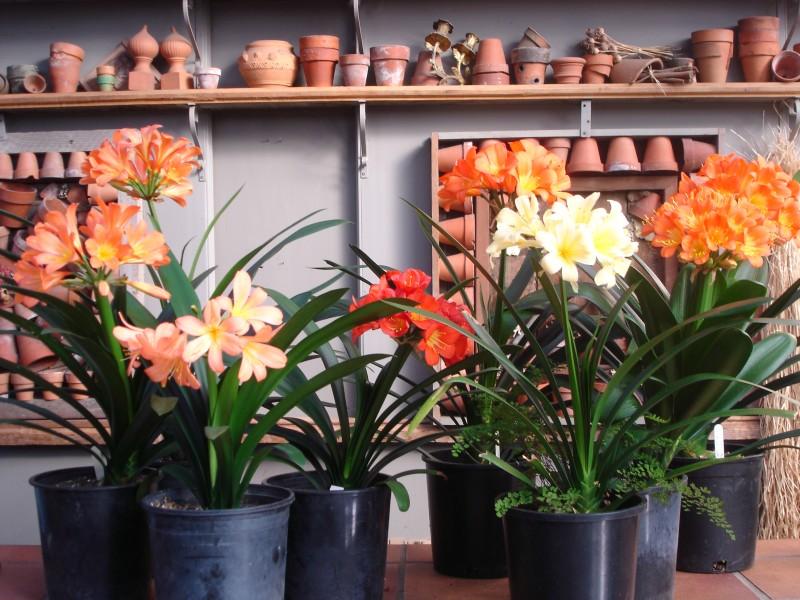 Clivias March 2010