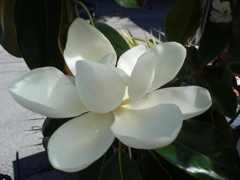 Magnolia grandiflora (3)