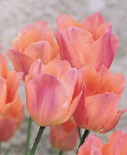 Tulip Beauty Queen