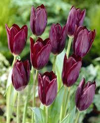 Tulip Havran
