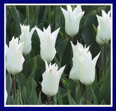 Tulip 'Tres Chic'