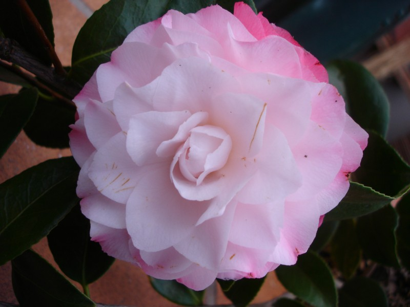 Camellia 'Nuccio's Pearl'