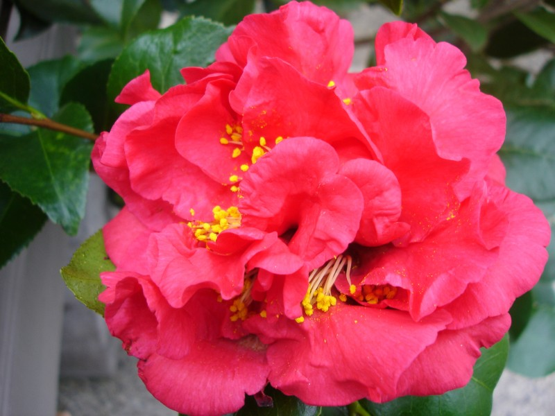 Camellia 'Kramer's Supreme'