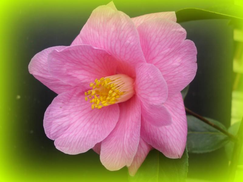 Camellia 'Donation'