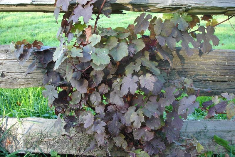 Vitis vin.'Purpurea' (4)